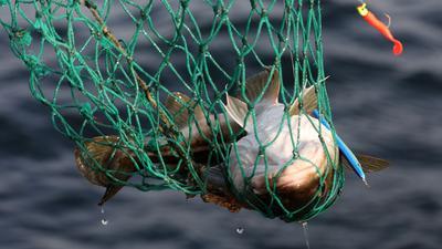 Die Fangmengen für den westlichen Dorsch werden 2021 um fünf Prozent angehoben.