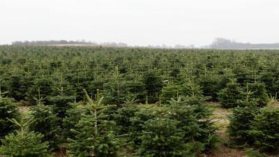 Nordmanntannen in einer Weihnachtsbaumzucht.