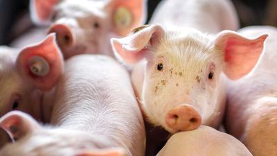 Beim Schweinefleisch zogen die Preise Anfang des Jahres erst an, fielen dann aber wieder stark.