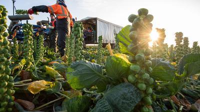 Landwirtschaftsarbeiter ernten Rosenkohl. Angesichts fehlender Helfer aus dem Ausland hatten Landwirte dieses Jahr versucht, Lücken mit Freiwilligen aus dem Inland zu füllen, etwa Studierende oder Menschen in Kurzarbeit.