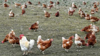 Die Produktion von Eiern aus Freilandhaltung und ökologischer Erzeugung in Deutschland wächst weiter kräftig.