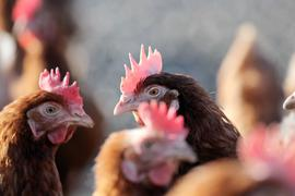Hühner stehen in einem Geflügelhof. In Deutschland legt ein Huhn im Schnitt 301 Eier pro Jahr.