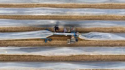 Erntehelfer stechen auf einem Feld mit einer elektrischen Erntemaschine Spargel.