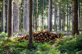 Fichtenstämme liegen zur Abholung durch Waldarbeiter an einem Forstweg bereit.
