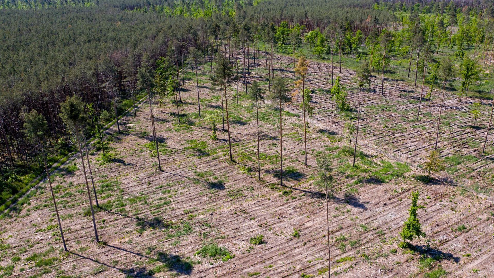 Nur noch einige Bäume stehen auf den bereits mit neuen Sämlingen wieder aufgeforsteten, geschädigten Waldgebieten in Sachsen-Anhalt. Deutschlands Wälder sind in einem so schlechten Zustand wie seit Jahrzehnten nicht (Symbolbild).