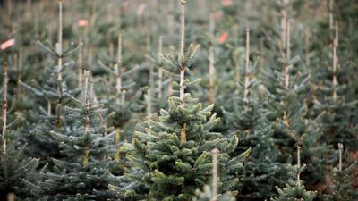 Nach Angaben des NRW-Landesverbandes Gartenbau stammt jeder dritte Weihnachtsbaum in Deutschland aus dem Sauerland.