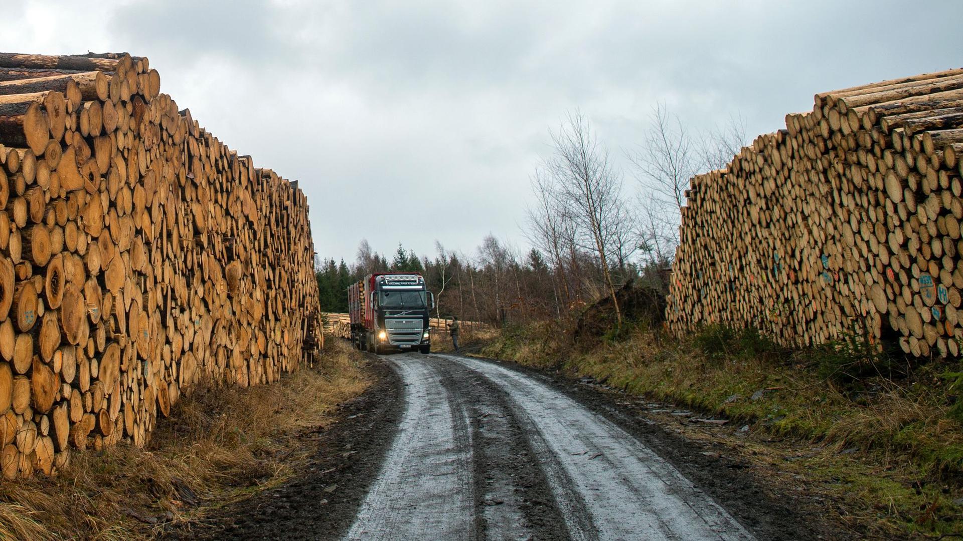 Stämme von Fichten einer gerodeten Waldfläche liegen auf dem Armeleuteberg im Stadtwald in Wernigerode zum Abtransport bereit.