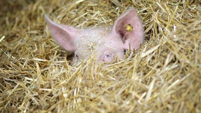 Ein Schwein hat sich auf einem Bio-Bauernhof im Stroh des Stalls versteckt. Bundeskanzlerin Merkel hat sich für einen Umbau der Landwirtschaft in Deutschland ausgesprochen.