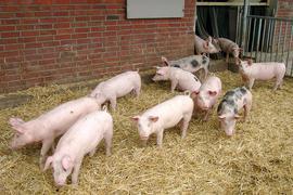 Hohenloher Landschweine vor einem Stall.