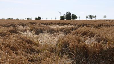 Das Getreide ist teilweise platt gedrückt - häufige Regenfälle erschweren die Ernte.