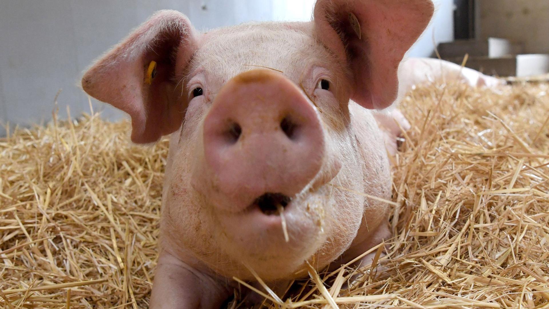 Rund 260.000 Tonnen Schweinefleisch sollen in Deutschland aktuell auf Lager sein.
