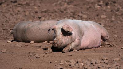 Schweine auf einem Bauernhof in Staffordshire. Wegen einer CO2-Krise in Großbritannien drohen nach Ansicht der Lebensmittelindustrie bald akute Versorgungsprobleme in Supermärkten und Gastronomie.