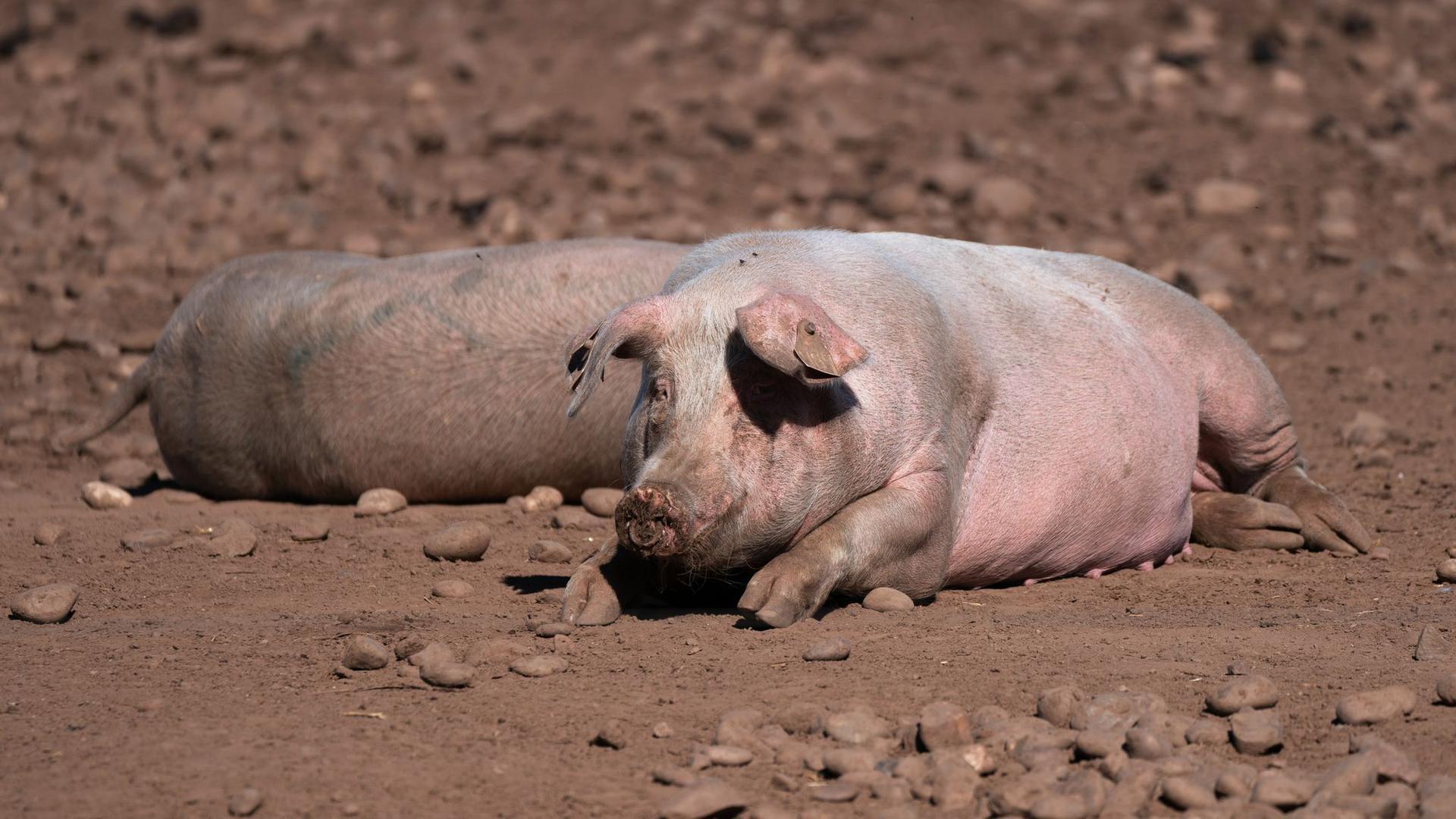 Schweine auf einem Bauernhof in Staffordshire.
