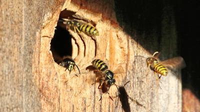 Wespen fliegen in ein Loch im Holz und krabbeln wieder heraus.