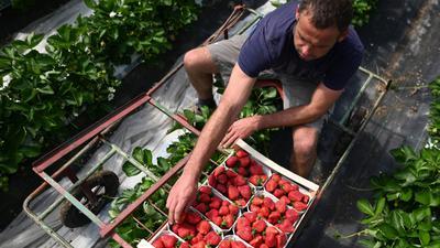 24.04.2019, Baden-Württemberg, Oberkirch: Erntehelfer Pawel aus Polen erntet Erdbeeren. Am Oberrhein hat die Erdbeerernte begonnen. Die Region dort ist das größte Erdbeeranbaugebiet in Baden-Württemberg. Foto: Patrick Seeger/dpa +++ dpa-Bildfunk +++