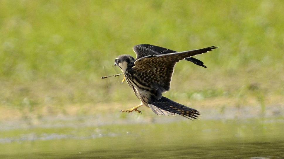 Baumfalke jagt Libellen im Flug an den KLosterseen
