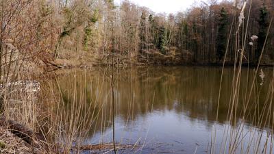 Blick auf den Kraichsee. Im Vordergrund Schilf, im Hintergrund Bäume und Wald.
