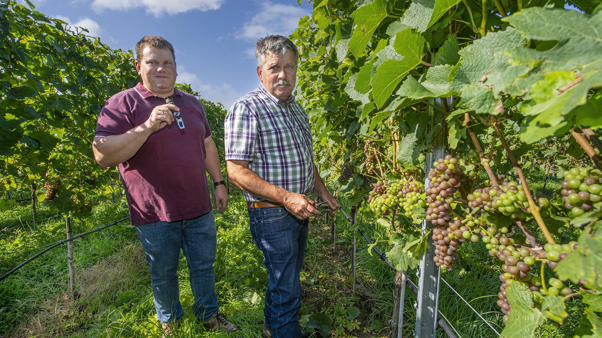 Im Weingut von Vater und Sohn, Otto und Michael Keller, in Eisingen, sehen die Beeren gut aus, auch wenn es durch den Frost weniger Ertrag in diesem Jahr geben wird.