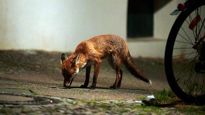 Ein Fuchs schnüffelt am Boden