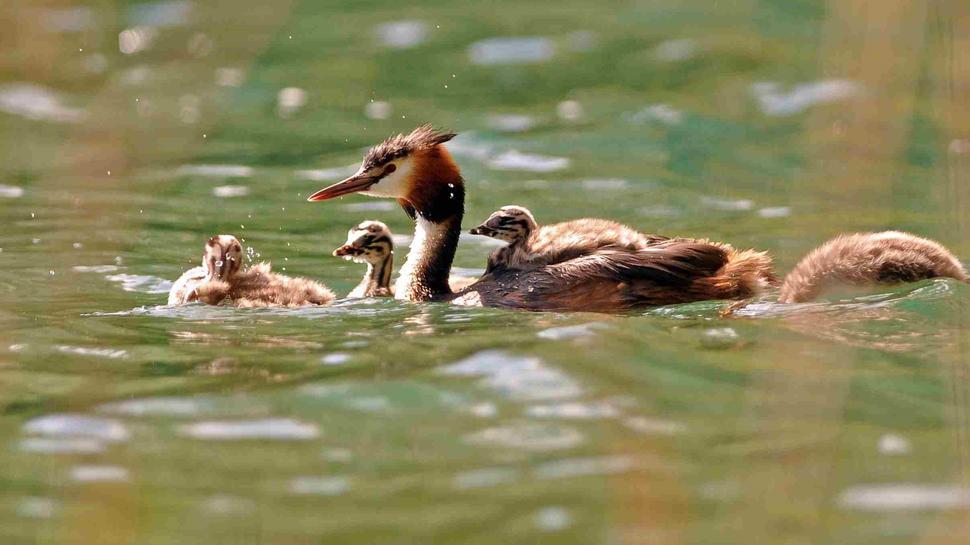 Haubentaucherfamilie Aalkistensee