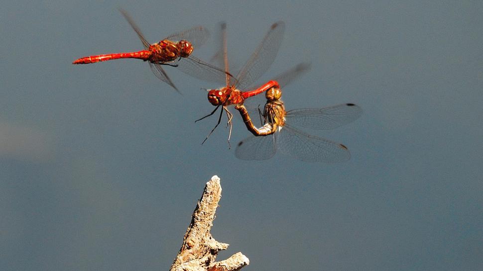 Heidelibellen Paarungsrad und einzelnes Männchen am Rossweiher