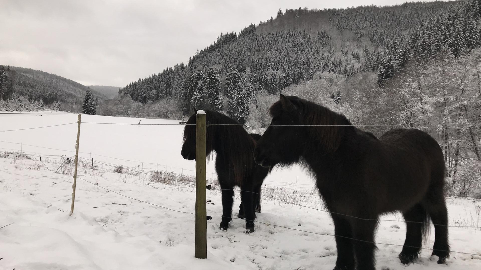 Am Fuße des Sommerbergs genießen diese Pferde das weiße Schneewunder.