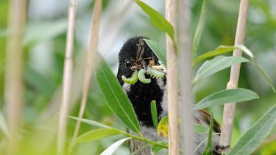 Rohrammer Brutvogel im Schilf des Aalkistensee und Rossweiher