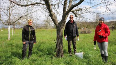 Ist ein Stamm so stark vom Schwarzen Rindenbrand befallen wie dieser auf einer Streuobstwiese in Durlach, hilft nur noch eine Rodung und Neupflanzung. Die LTZ-Forscher Julia Zugschwerdt (von rechts) und Jan Hinrichs-Berger raten ebenso wie Nele Kemper vom Karlsruher Liegenschaftsamt zur Standort-angepassten Sortenwahl und zum präventiven Weißeln der Bäume ab der Pflanzung.