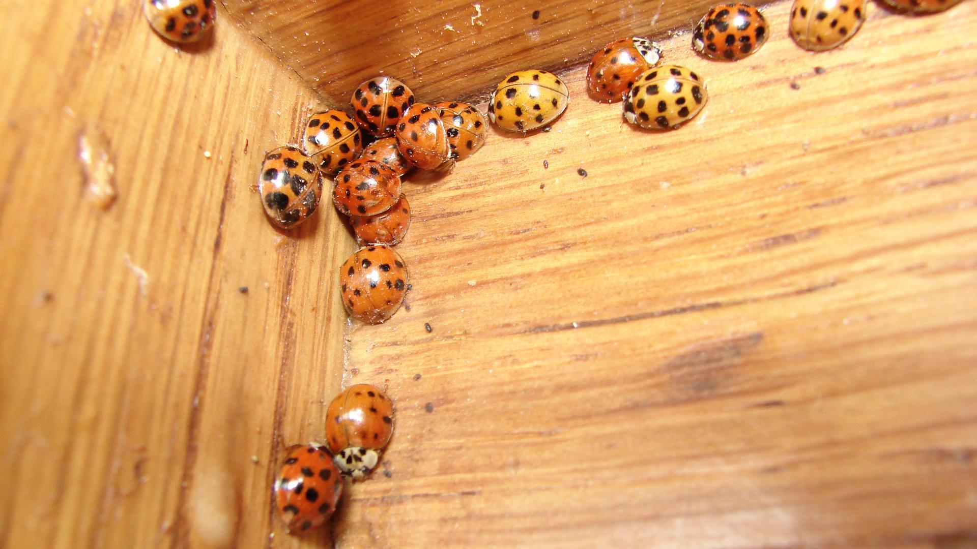 Asiatische Marienkäfer suchen Schutz vor Winter in Gartenhütte