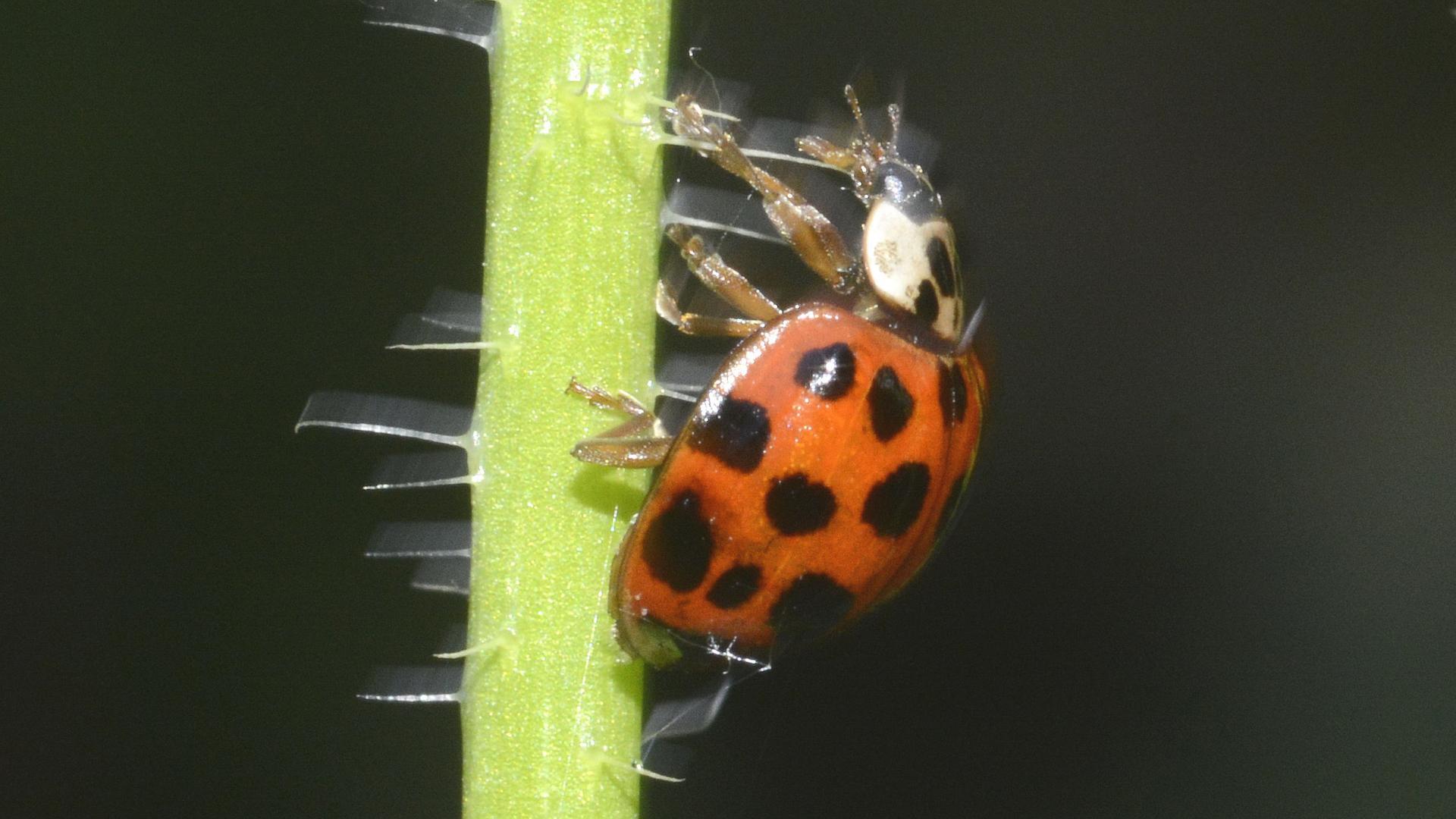 Asiatischer Marienkäfer auf Jagd nach Blattläusen