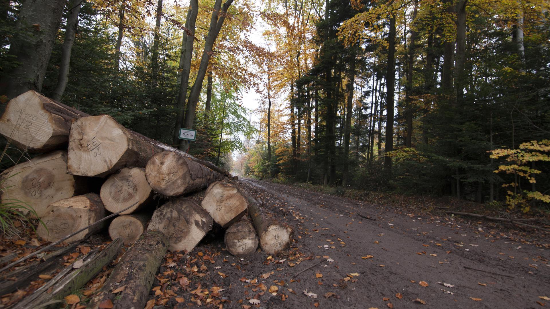 Baumstämme liegen an einem Waldweg zum Abtransport bereit