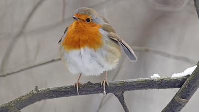 Ein Rotkehlchen sitzt auf einem Ast. Auf dem Ast liegt auch noch etwas Schnee.