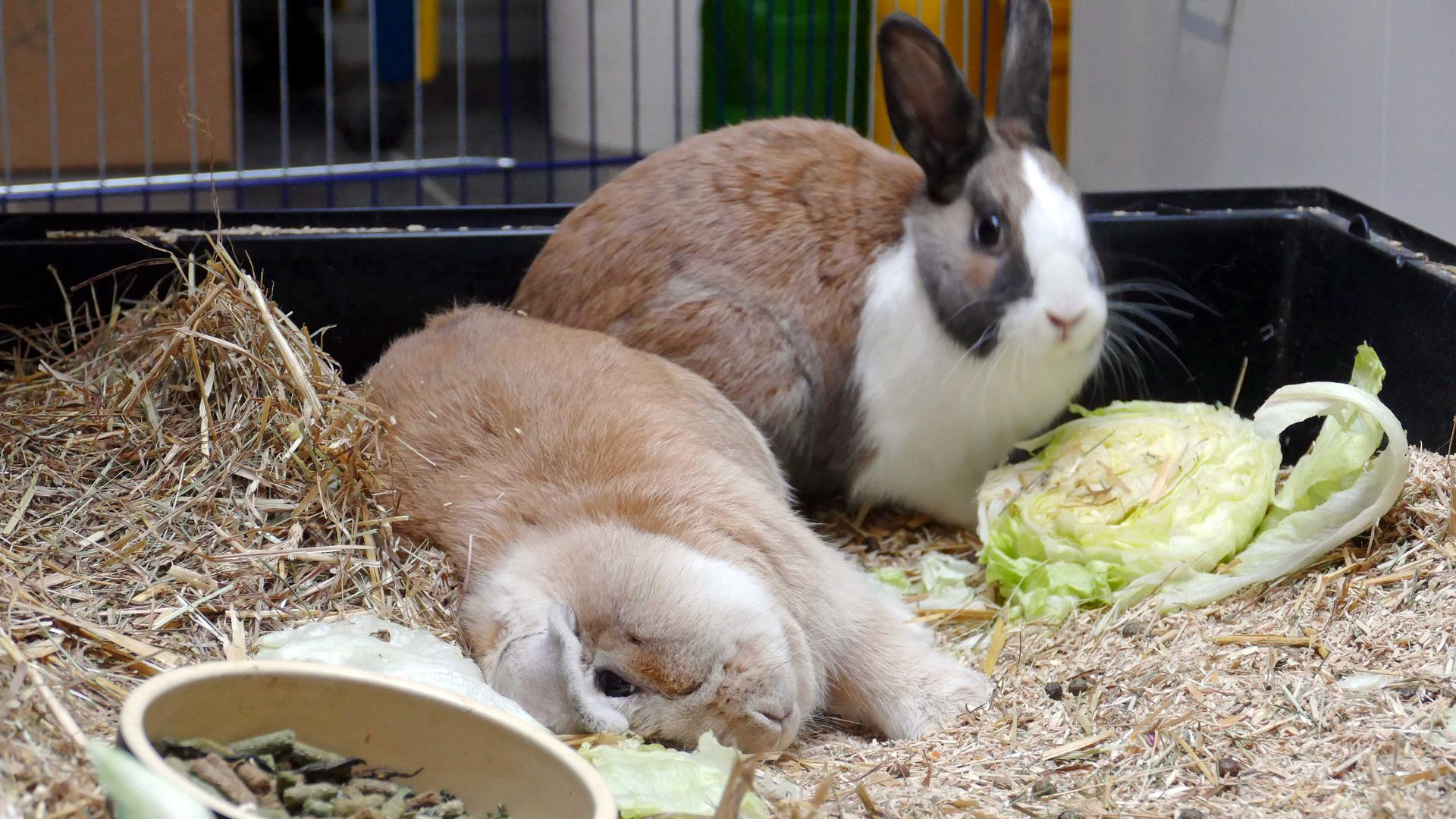 """Liegt da wie betrunken, hat aber durch Bakterienbefall einen """"Schiefkopf"""", was ihn seiner Lebensfreude aber nicht beraubt: Widderkopf-Kaninchen Bonnie (links) wartet mit seiner Gefährtin Mimi auf ein neues Zuhause"""