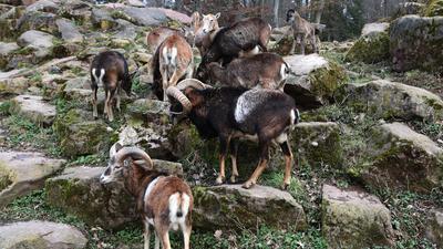 Bei den Mufflons können die ersten Besucher nach dem Lockdown direkt den niedlichen Nachwuchs bestaunen (rechts oben).