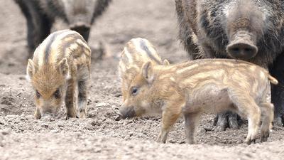 Frischlinge und die Nasen zweier großer WIldschweine