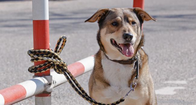 Ein Hund ist an einem rot-weiß gestreifen Zaun an einem Parkplatz angebunden. Seine Besitzer haben ihn ausgesetzt.